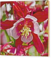Red And White Columbine At Pilgrim Place In Claremont-california  Wood Print