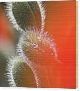 Red Corn Poppy Bud And Red Dots Wood Print