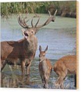 Red Deer In Bushy Park London Wood Print