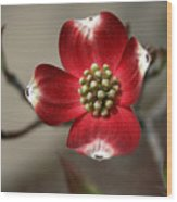 Red Dogwood Wood Print