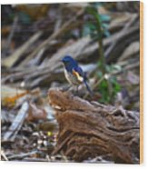 Red-flanked Bluetail 2 Wood Print