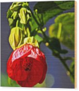 Scarlet Mallow At Pilgrim Place In Claremont-california- Wood Print