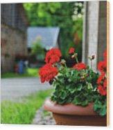 Red Garden Geranium Flowers In Pot , Close Up Shot / Geranium Fl Wood Print