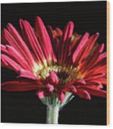 Red Gerbera 1 Wood Print