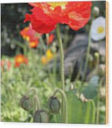Red Iceland Poppy Wood Print