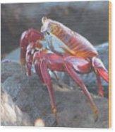 Red Rock Crab Wood Print