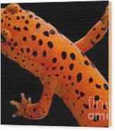 Red Salamander Wood Print
