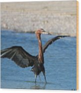 Reddish Egret Wood Print