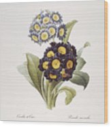 Redoute: Auricula, 1833 Wood Print