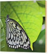 Rice Paper Butterfly 6 Wood Print