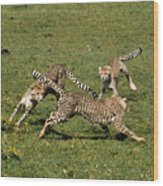 Ring Around The Cheetahs Wood Print