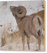 Rocky Mtn.big Horns Wood Print
