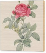 Rosa Gallica Pontiana Wood Print