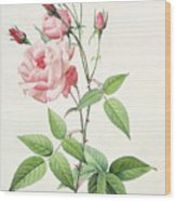 Rosa Indica Vulgaris Wood Print by Pierre Joseph Redoute