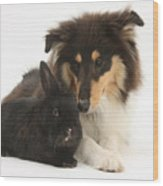 Rough Collie With Black Rabbit Wood Print