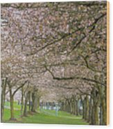 Rows Of Cherry Blossom Trees In Spring Wood Print