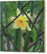 1 Sad Daffy Behind Bars Wood Print