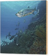 School Of Tarpon, Bonaire, Caribbean Wood Print by Terry Moore