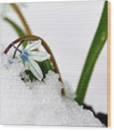 Scilla On Snow Wood Print