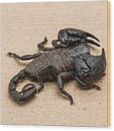 Scorpion Wood Print