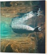 Sea Lion Reflection Wood Print