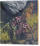 Seaweed Growing In A Rockpool On The Shore Roundstone County Galway Ireland Wood Print