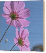 Sensation Cosmos Bipinnatus Pink Cosmos Standing Up Towerd Sky Wood Print