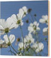 Sensation Cosmos Bipinnatus White Cosmos Standing Up Towerd Sk Wood Print