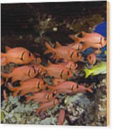 Shoulderbar Soldierfish Wood Print