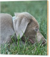 Silver Labrador Retriever Puppy  Wood Print