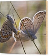 Silver-studded Blue Butterflies Wood Print