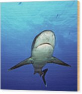 Silvertip Shark Wood Print