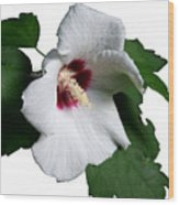 Single Rose Sharron Flower Wood Print