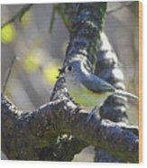 Tufted Titmouse - Small Bird Wood Print