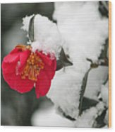 Snow Bloom Wood Print by Suzanne Gaff