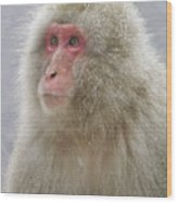 Snow-dusted Monkey Wood Print