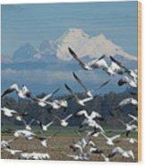 Snow Geese In Skagit Valley Wood Print