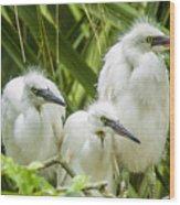Snowy Egret Chicks Wood Print