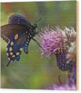 Spicebush Swallowtail On Bull Thistle Wood Print