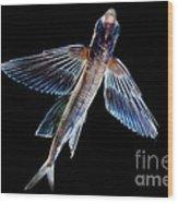 Spotfin Flyingfish Wood Print