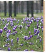 Spring Flowering Crocuses Wood Print