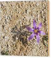 Spring Sand Crocus Flower Wood Print