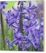 Spring Time With Blooming Hyacinth Flowers In A Garden Wood Print
