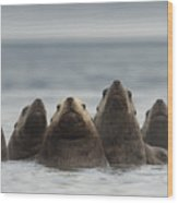 Stellers Sea Lion Eumetopias Jubatus Wood Print by Michael Quinton