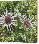 Stemless Carline Thistle Carlina Acaulis Wood Print
