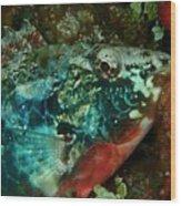 Stop Light Parrot Fish Wood Print