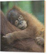 Sumatran Orangutan Pongo Abelii Two Wood Print