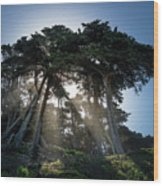 Sunbeams From Large Pine Or Fir Trees On Coast Of San Francisco  Wood Print