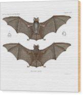Sundevall's Roundleaf Bat Wood Print