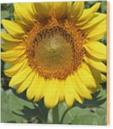 Sunflower 09 Wood Print